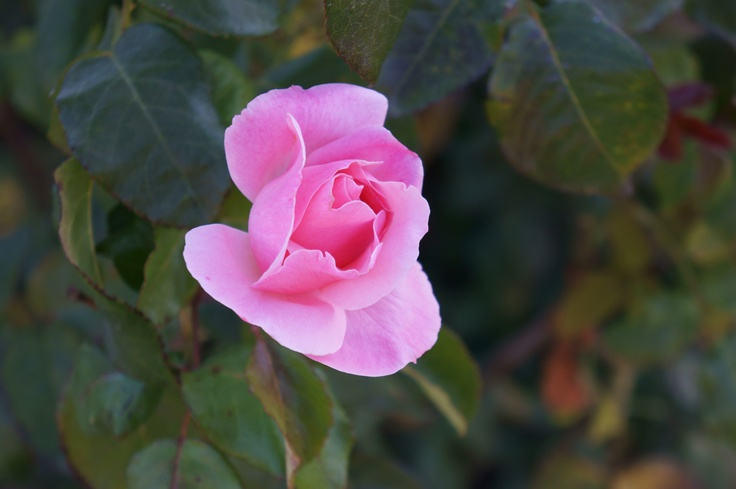 Rosa en Jardin del Museo Hualpén By JLC