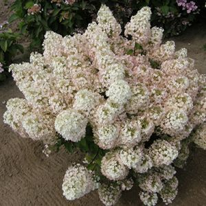 Buy Hydrangea Bobo Shrubs Online. Garden Crossings Online Garden Center offers a large selection of Hydrangea Hardy Plants. Shop our Online Shrub catalog today!