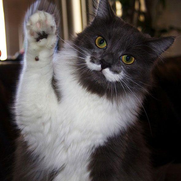 Hamilton The Hipster Cat with a mustache l #Dali #aristocats