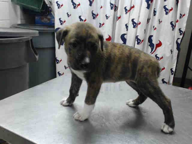 07/12/16-TIME'S UP!! SUPER URGENT!! This DOG - ID#A463150 I am a female, brown brindle and white Pit Bull Terrier. The shelter staff think I am about 10 weeks old. I have been at the shelter since Jul 05, 2016. This information was refreshed 30 minutes ago and may not represent all of the animals at the Harris County Public Health and Environmental Services. https://www.facebook.com/harriscountyanimalshelterpetshouston/videos/1180065952057201/