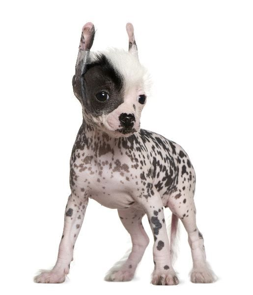 Chinese Hairless Crested Dog Puppies Hairless Dog