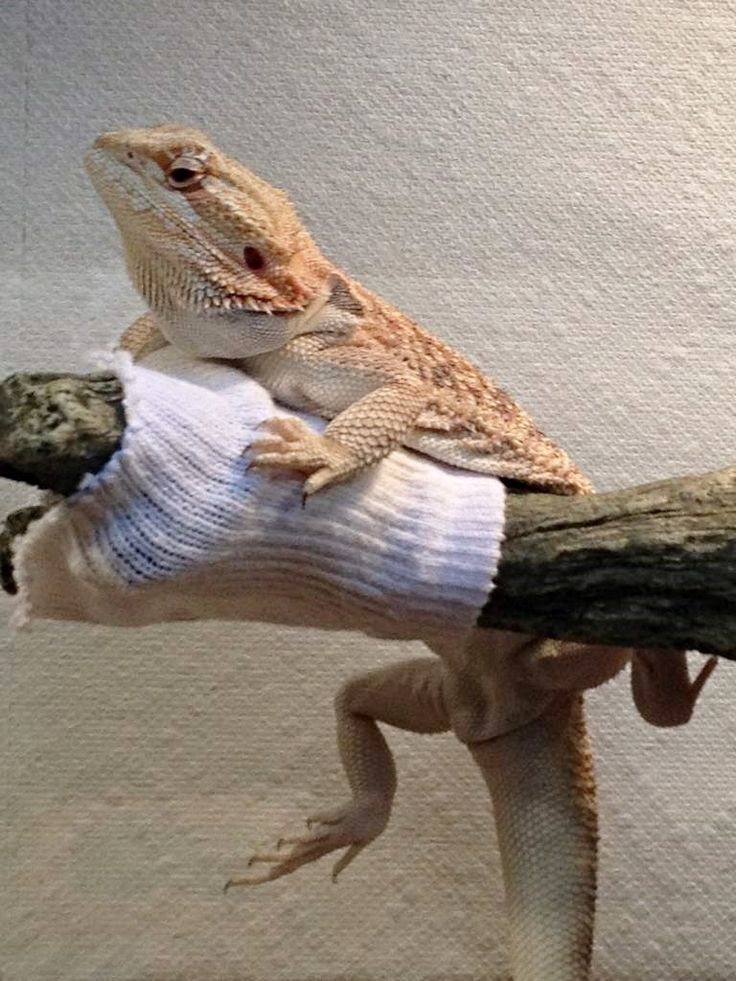 how to cook bearded dragon