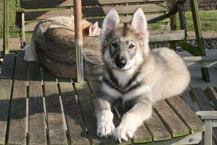 Northern Inuit Dog For Sale Texas