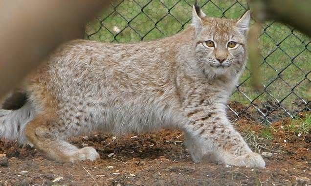 Lynx Captured After Going Missing From Zoo For Three Weeks