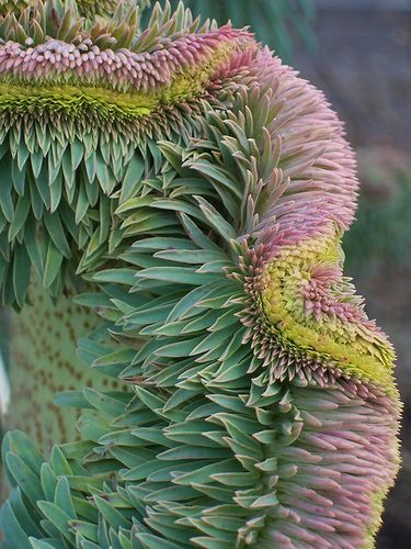 malformalady:    Euphorbia wulfenii fasciation. A fabulous mutation affecting most if not all plants(of an unknown cause) called Fasciation. Ive seen it on a variety of plants all with spectacular effects but this has got to be the best yet. Taken at Ryton Organic Gardens Feb 09.