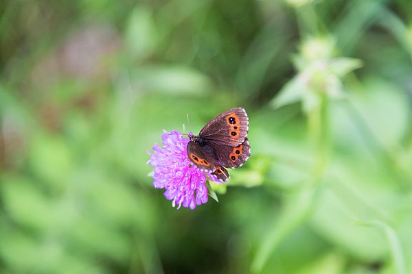 Mountain butterfly on purple flower