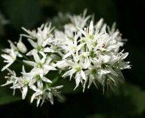 Άγριο σκόρδο Allium ursinum