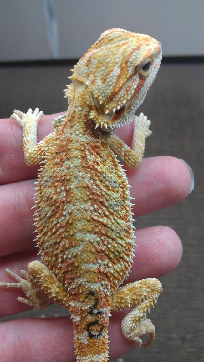 Delta Dragonz: Bearded Dragon Breeders in Sacramento, CA