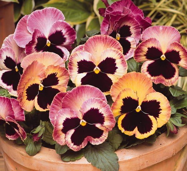 Matrix Sunrise Pansy Calloway S Nursery Pansies Flowers Pansies Winter Pansies