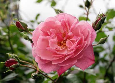 Come potare le rose