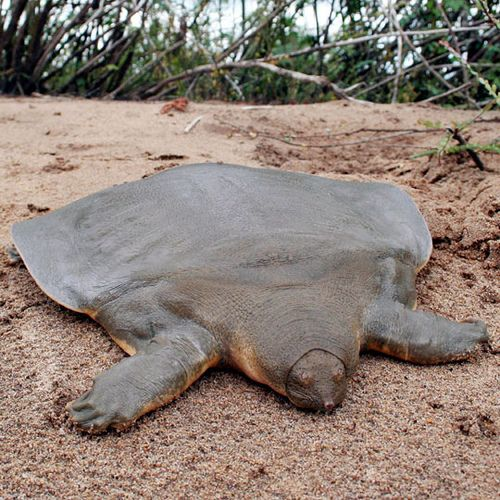 Cantor's Softshell Turtle is a freshwater turtle, native to Cambodia,  which can grow up to 6 feet in length. It spends 95 percent of its life buried and motionless in the sand surfacing twice a day to take a breath. #Turtle #Softshell_Turtle: Shells Turtles, Soft Shells, Softshell Turtles, Rivers T-Shirt, Baby Animal, Sea Turtles, Cambodia, Cantor Giant, Mothers Natural