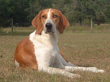 walker coon hound | Treeing Walker Coonhound Pictures