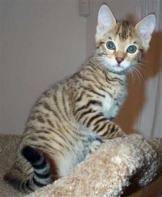 Ocelot Kittens For Sale Florida - #GolfClub