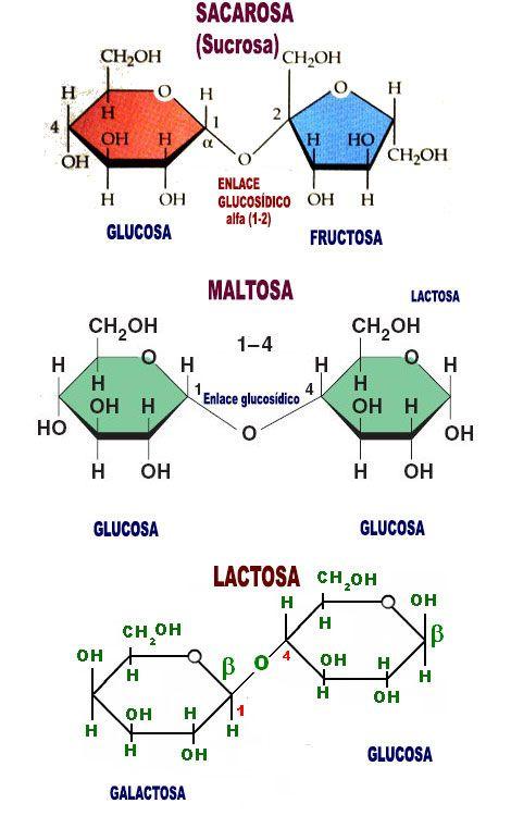 disacaridos sacarosa maltosa lactosa
