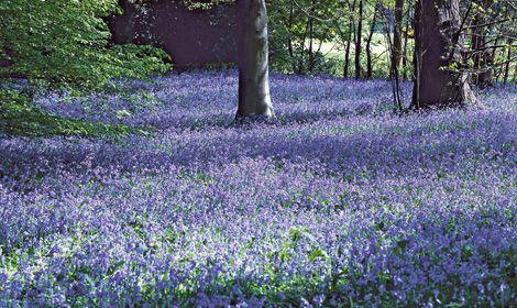 Die Hälfte des weltweiten Bestands wildwachsender Atlantischer Hasenglöckchen findet man in England – das macht die britische Begeisterung für die kleinen blauen Zwiebelblumen verständlich. Bei uns gibt es nur wenige Naturstandorte – und zwar in Nordrhein-Westfalen. Je nach Witterung lockt ab April ein leuchtend blaues Meer in den Wald bei Hückelhoven-Doveren (Kreis Heinsberg). Das größte Vorkommen befindet sich aber im Naturschutzgebiet Gillenbusch, nördlich von Linnich (Kreis…