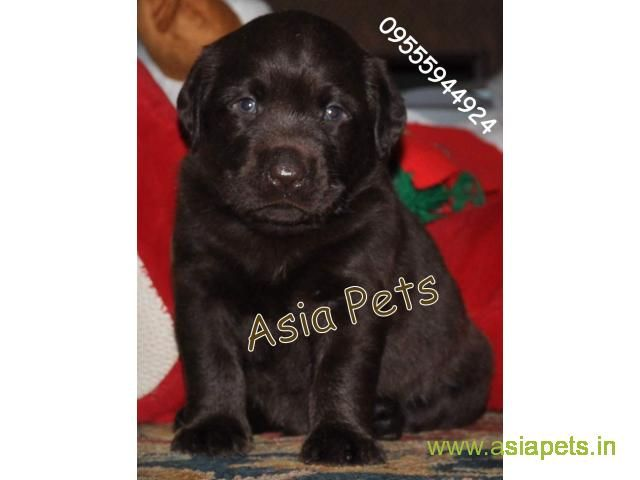 Chocolate Labrador Pups For Sale In Delhi Best Price With Images