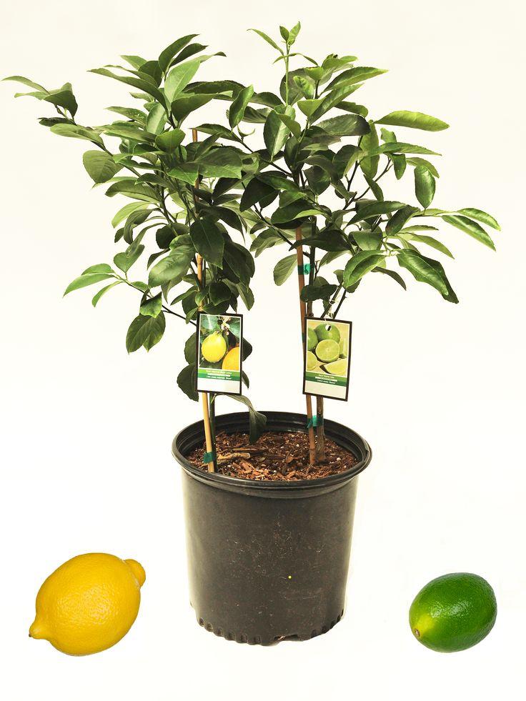 save a ton of space while enjoying homegrown limes and lemons  our new  u0026 39 2n1 u0026 39  lemon  u0026 lime tree