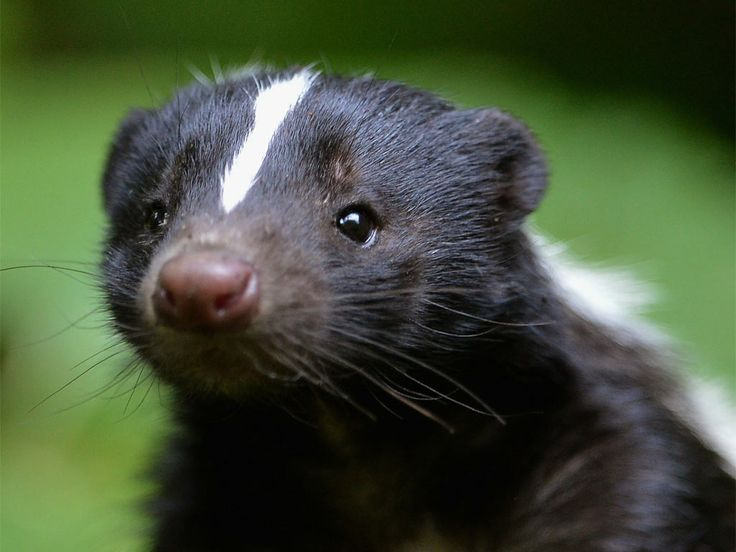 Pleasure Or Pain: Do Skunks Hate The Smell of Their Own Spray?