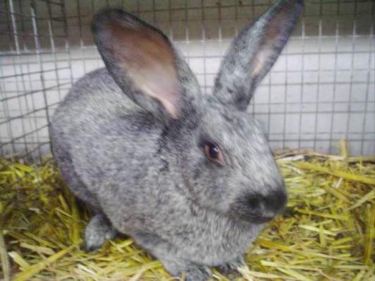 Cuniculture - Photothèque races de lapins originaires de Belgique. Argenté belge