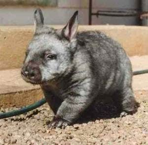 Southern hairy-nosed Wombat Faunal State Emblem of South Australia