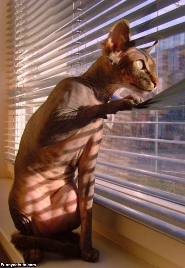 Cats Versus Window Blinds ВЕНЕЦИАНСКИ ЩОРИ Venetian