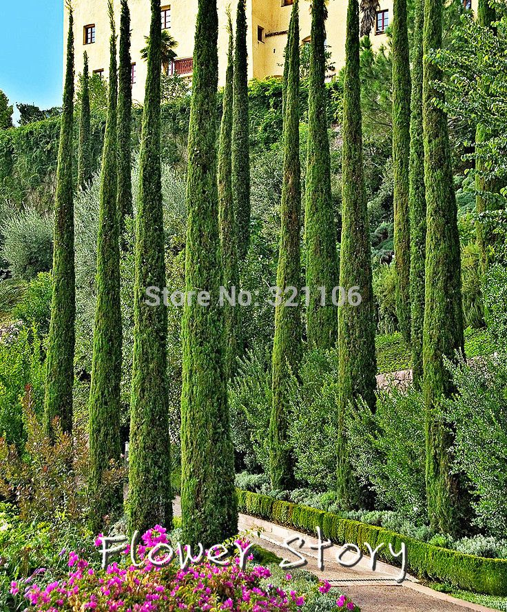 Tuscan House Style With Front Walkway And Italian Cypress: Best 25+ Cupressus Sempervirens Ideas On Pinterest