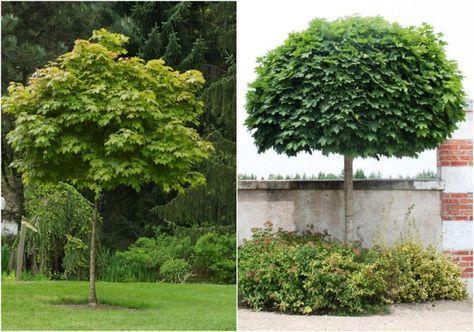 arbre pour petit jardin: variété d'érable-boule Acer platanoides Globosum