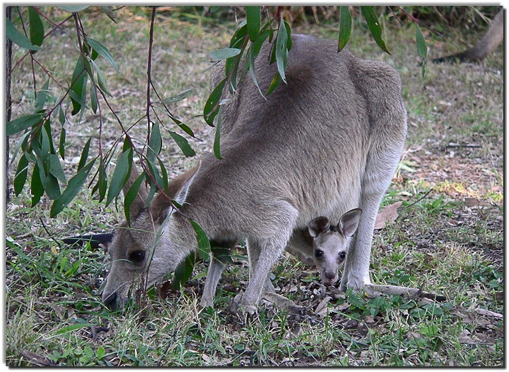Kangaroo And Joey Animals Amp Other Pinterest