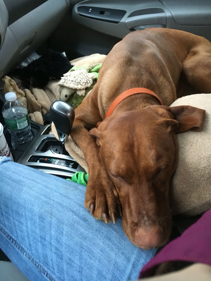 Typical Velcro Vizsla always have to be touching you