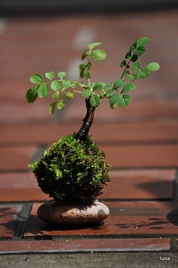 OK, since I don't speak Japanese I will guess that this is a planter that can grow moss on the outside. A neat idea. SM-It's a moss ball, and I have wild rose bushes all over my woods just waiting for one!