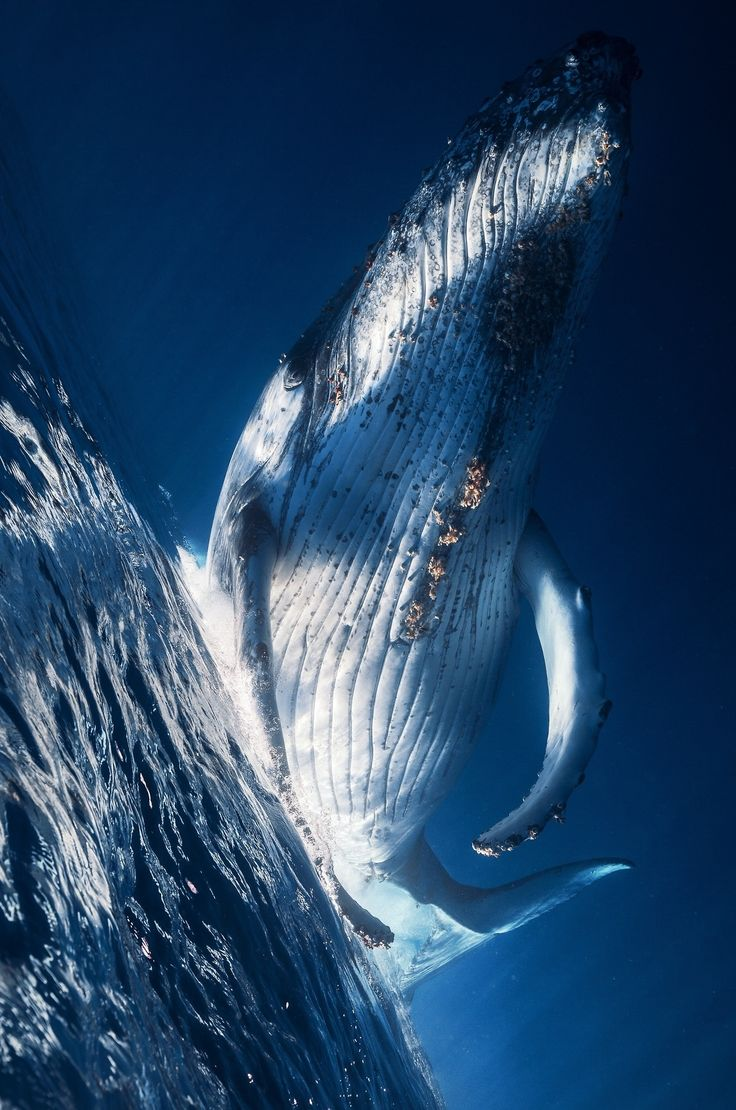 """0ce4n-g0d: """"Whale, Humpback Whale! by Gaby Barathieu"""""""