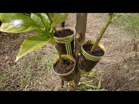 Amig@s las raíces suelen tenerlas a los 4 - 5 meses por seguridad eso si le mantienen la humedad. No le pasaría nada a la rama si no se regara porque la mant...