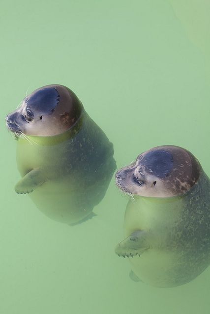 Orphan baby seals, Texel Island, The Netherlands Ecomare by advermeulen2010, via Flickr