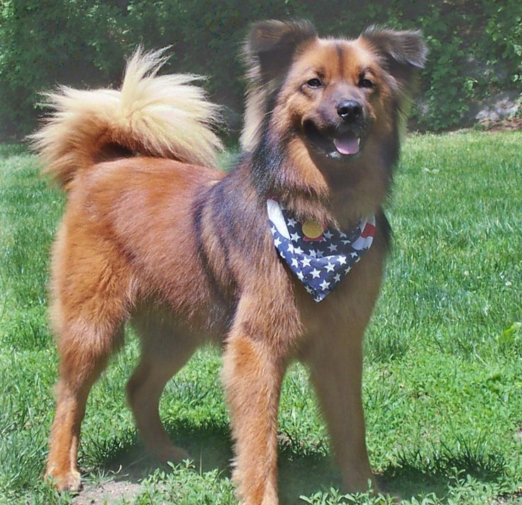 chow chow border collie mix - photo #1