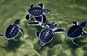 Baby havskildpadder