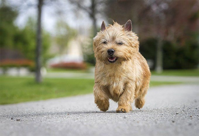 Norwich Terrier Dog Breed Information Pictures Characteristics