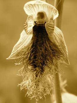 Tasmanian bearded orchid