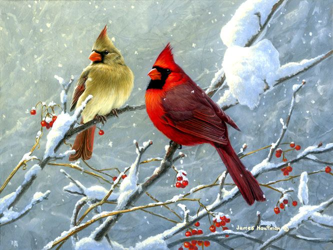 images of cardinals in winter | Winter Cardinals by Jim Hautman