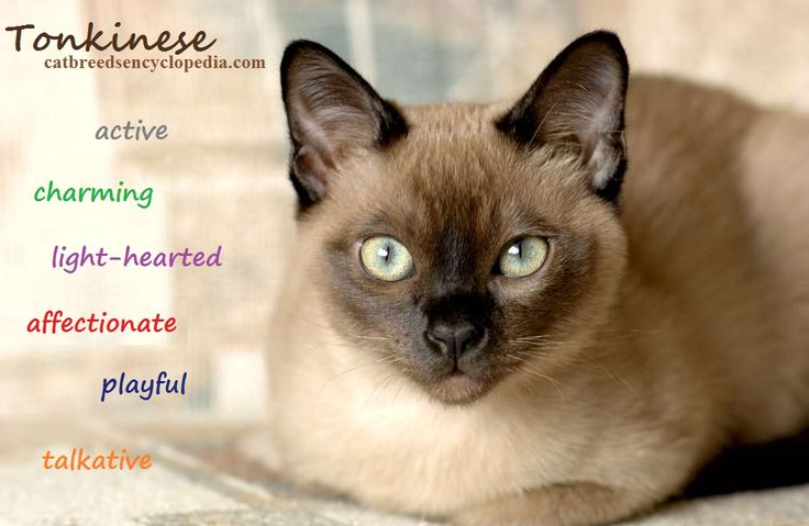 Siamese and Burmese cats were combined to produce the lovely Tonkinese cat