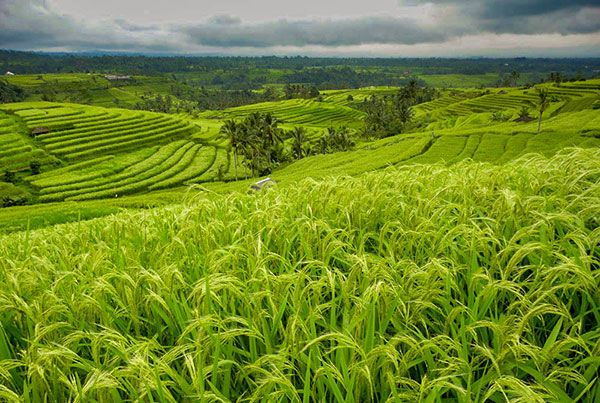 Jatiluwih: A Place with Beautiful View of Rice Terraces in Bali