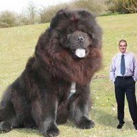 Moose the World's Largest Dog | world's biggest dog photo: The biggest dog in the world. Boris Bear ...