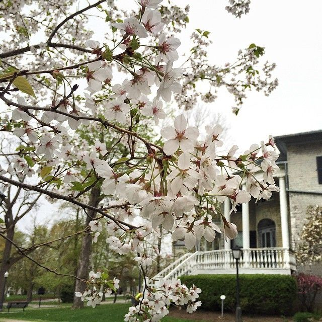 #queensu is in full bloom and as beautiful as ever! #blossoms #springtime #spring #springblossoms #blooming #bloom