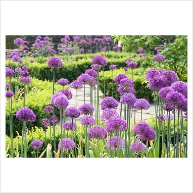 GAP Photos - Garden & Plant Picture Library - Allium 'Purple Sensation' in clipped Buxus edged beds at Manley Knoll, Cheshire NGS - GAP Photos - Specialising in horticultural photography