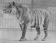 Javan Tiger (Panthera tigris sondaica) inhabited the Indonesian Island of Java, extinct as of 1970's.