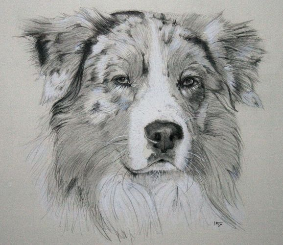 The Australian Shepherd was actually not created in Australia but is an American breed. Description from deviantart.com. I searched for this on bing.com/images
