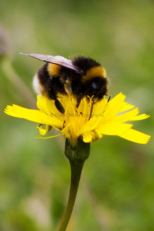 Bee on Dandelion in Porirua | © Elyse Childs Photography