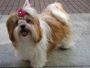 shih tzu - Bing Images: Tzu Alegr, Dogs, Oh Shih, Shih Tzus
