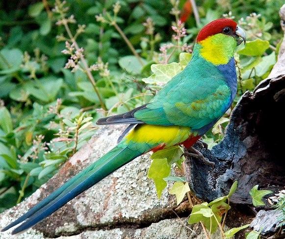 Red Parrot Bird Price