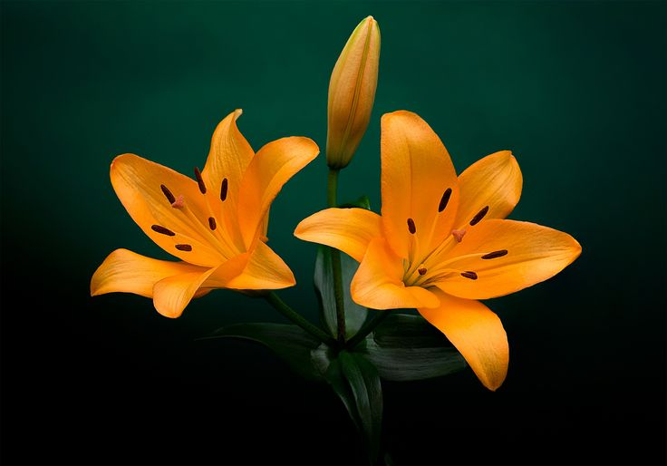 Lilium bulbiferum - The Orange Lily has long been recognised as a symbol of the Orange Order in Northern Ireland. (Wikipedia)