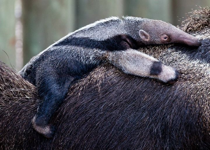 Hang on! It's a new Baby Anteater for Busch Gardens in Tampa, FL.